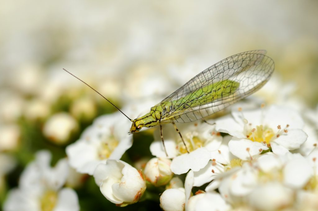 Insecta sp.